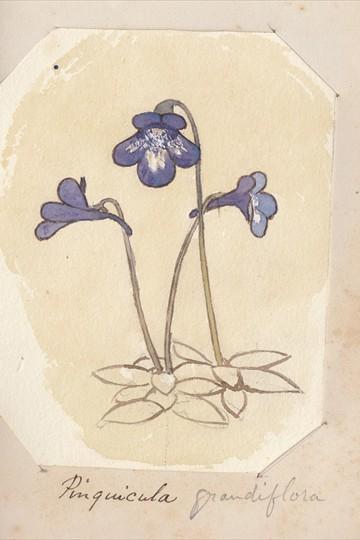 Ruth Mary Tristram, 1900-1914, pinguicula grandiflora