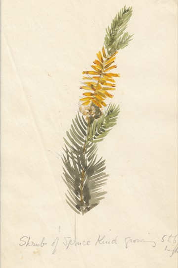 Shrub of Spruce kind
