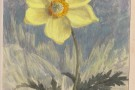 Ruth Mary Tristram, 1900-1914, anemone sulphurea single
