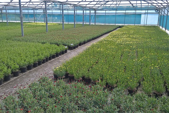 Argyranthemum growing at Springfield site