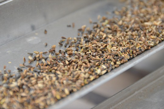 Seeds being agitated in the new seed sowing machine 2013