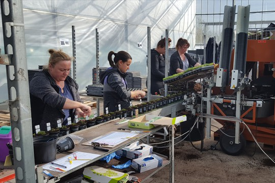 9cm herbs being potted on one of Binsted's fixed potting machines