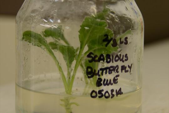 Scabious 'Butterfly Blue' held in vitro