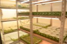 In vitro propagules in tubs under lights in specialist growth room